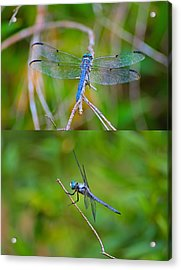 Blue Dragon Fly Acrylic Print