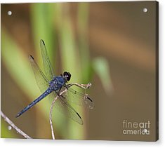 Blue Dragonfly Acrylic Print by Dale Nelson