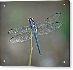 Acrylic Print featuring the photograph Blue Dragonfly II by Linda Brown