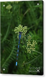 Acrylic Print featuring the photograph Blue Dragonfly by Marjorie Imbeau