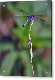 Blue Dragonfly On A Blade Of Grass  Acrylic Print