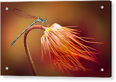 Blue Dragonfly On A Dry Flower Acrylic Print