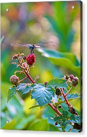 Blue Dragonfly On Berry Acrylic Print