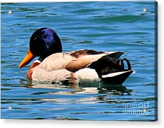 Blue Duck Acrylic Print by Tap On Photo