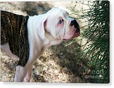 Blue Eye Pup Acrylic Print by Berta Keeney