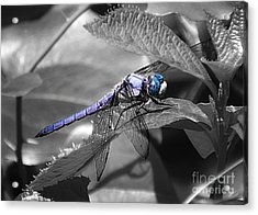 Blue Eyed Dragonfly Acrylic Print