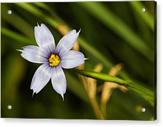 Blue Eyed Grass Acrylic Print by Mike Farslow