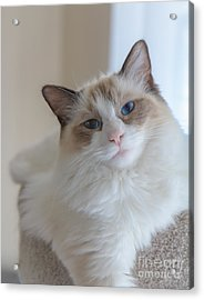 Acrylic Print featuring the photograph Blue-eyed Ragdoll Kitten by Peta Thames