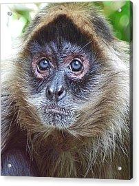 Blue Eyed Spider Monkey Acrylic Print by Margaret Saheed