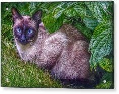 Blue Eyes Acrylic Print by Hanny Heim