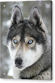 Blue Eyes Husky Dog Acrylic Print
