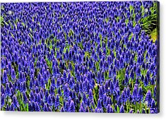 Blue Fields Acrylic Print