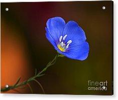 Blue Flax Blossom Acrylic Print
