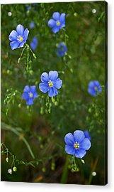 Blue Flax Acrylic Print