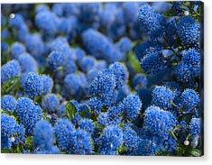 Blue Flowers Acrylic Print by Svetlana Sewell