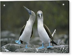 Blue Footed Booby Dancing Acrylic Print by Tui De Roy