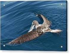 Blue-footed Booby Feeding Acrylic Print by Christopher Swann