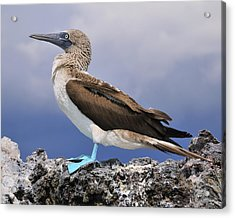 Blue-footed Booby Acrylic Print by Tony Beck