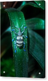 Blue Footed Tropical Weevil Acrylic Print