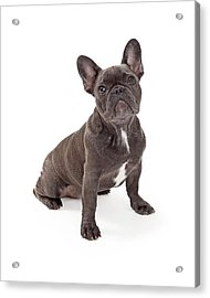 Blue French Bulldog  Acrylic Print by Susan Schmitz