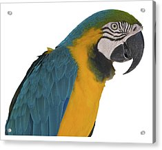 Blue Gold Macaw Acrylic Print
