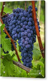 Blue Grapes Acrylic Print by Patricia Hofmeester