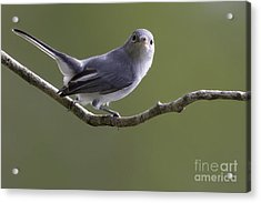 Blue-gray Gnatcatcher Acrylic Print by Meg Rousher