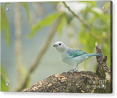 Blue-gray Tanager Acrylic Print