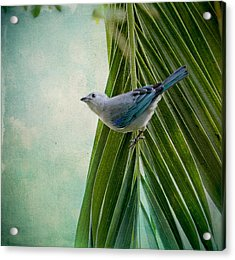 Blue Grey Tanager On A Palm Tree Acrylic Print