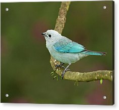 Blue-grey Tanager (thraupis Episcopus Acrylic Print by William Sutton