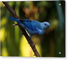 Blue Grey Tanager Acrylic Print