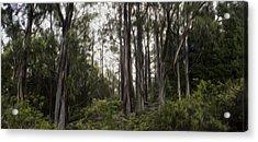 Blue Gum Eucalyptus Forest Acrylic Print by Brad Scott