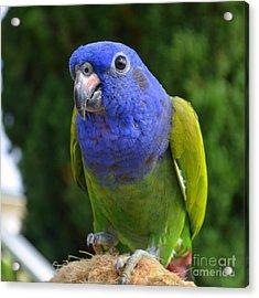 Blue Headed Pionus Parrot Acrylic Print