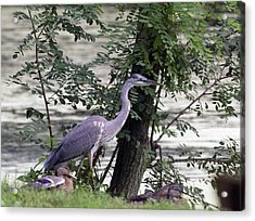 Blue Heron And Duck Acrylic Print