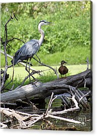 Blue Heron And Friend Acrylic Print