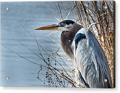 Acrylic Print featuring the photograph Blue Heron At Pond by John Johnson