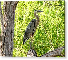 Acrylic Print featuring the photograph Blue Heron At Rest by John Johnson