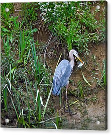 Acrylic Print featuring the photograph Blue Heron by Brian Williamson