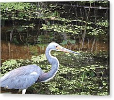 Blue Heron Close Up Acrylic Print by Beth Williams
