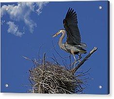 Blue Heron Construction Site Acrylic Print