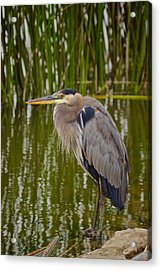 Acrylic Print featuring the photograph Blue Heron by Duncan Selby