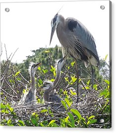 Acrylic Print featuring the photograph Blue Heron Family by Ron Davidson