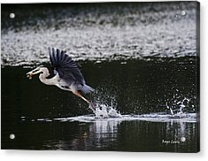 Blue Heron Fishing Acrylic Print by Roger Lewis