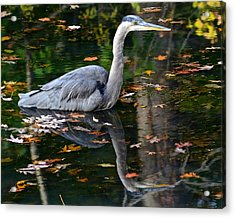 Blue Heron In Autumn Waters Acrylic Print by Frozen in Time Fine Art Photography