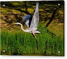 Acrylic Print featuring the photograph Blue Heron In Flight by John Johnson