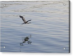 Blue Heron In Flight Acrylic Print