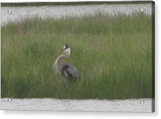 Blue Heron In Full Dress Acrylic Print by Debbie Nester