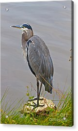 Blue Heron Iv Acrylic Print