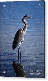 Blue Heron Acrylic Print by Joy Bradley