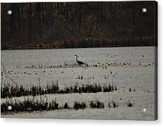 Blue Heron On Lake Acrylic Print by Valarie Davis